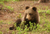 Brown Bear Cub - photo/picture definition - Brown Bear Cub word and phrase image