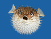 porcupine fish - photo/picture definition - porcupine fish word and phrase image