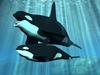 Orca Whale - photo/picture definition - Orca Whale word and phrase image