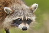 Racoon - photo/picture definition - Racoon word and phrase image