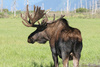 Alaskan Moose - photo/picture definition - Alaskan Moose word and phrase image