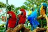macaws - photo/picture definition - macaws word and phrase image