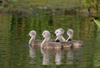 swan ducklings - photo/picture definition - swan ducklings word and phrase image