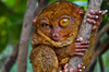 big-eyed tarsier - photo/picture definition - big-eyed tarsier word and phrase image