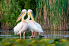 white pelicans - photo/picture definition - white pelicans word and phrase image
