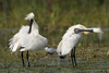 spoonbills - photo/picture definition - spoonbills word and phrase image