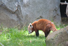 red panda - photo/picture definition - red panda word and phrase image