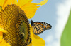 monarch butterfly - photo/picture definition - monarch butterfly word and phrase image