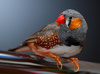 lonchura bird - photo/picture definition - lonchura bird word and phrase image