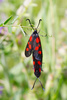 burnet butterflies - photo/picture definition - burnet butterflies word and phrase image
