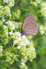 ringlet butterfly - photo/picture definition - ringlet butterfly word and phrase image