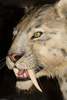 sabre-tooth tiger - photo/picture definition - sabre-tooth tiger word and phrase image