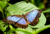blue butterfly - photo/picture definition - blue butterfly word and phrase image
