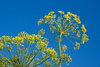 dill flower - photo/picture definition - dill flower word and phrase image