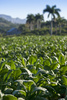 tobacco field - photo/picture definition - tobacco field word and phrase image
