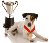 jack russel terrier - photo/picture definition - jack russel terrier word and phrase image