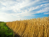 wheat field - photo/picture definition - wheat field word and phrase image
