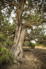 juniper tree - photo/picture definition - juniper tree word and phrase image