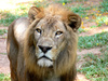 African lion - photo/picture definition - African lion word and phrase image