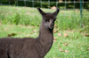 llama lamb - photo/picture definition - llama lamb word and phrase image