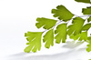 maidenhair leaf - photo/picture definition - maidenhair leaf word and phrase image