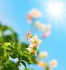 flowering potato bush - photo/picture definition - flowering potato bush word and phrase image