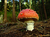 fly mushroom - photo/picture definition - fly mushroom word and phrase image
