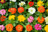 zinnias flowers - photo/picture definition - zinnias flowers word and phrase image