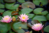 water lillies - photo/picture definition - water lillies word and phrase image