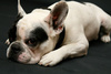 French bulldog - photo/picture definition - French bulldog word and phrase image