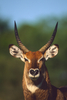 reg lechwe - photo/picture definition - reg lechwe word and phrase image