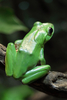 Chinese gliding frog - photo/picture definition - Chinese gliding frog word and phrase image