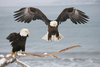bald eagles - photo/picture definition - bald eagles word and phrase image
