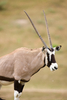 gemsbok - photo/picture definition - gemsbok word and phrase image