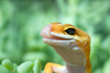 leopard gecko - photo/picture definition - leopard gecko word and phrase image