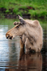 moose - photo/picture definition - moose word and phrase image