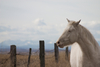 albino horse - photo/picture definition - albino horse word and phrase image