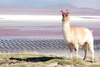 llama - photo/picture definition - llama word and phrase image