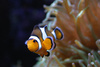 clown fish - photo/picture definition - clown fish word and phrase image