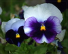 pansy - photo/picture definition - pansy word and phrase image