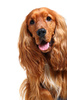 cocker spaniel - photo/picture definition - cocker spaniel word and phrase image