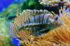 Lion fish - photo/picture definition - Lion fish word and phrase image