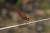 scarlet darter - photo/picture definition - scarlet darter word and phrase image
