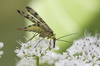 scorpion fly - photo/picture definition - scorpion fly word and phrase image