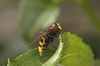volucella zonaria - photo/picture definition - volucella zonaria word and phrase image