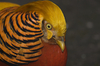 golden pheasant - photo/picture definition - golden pheasant word and phrase image
