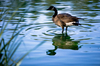 Canadian goose - photo/picture definition - Canadian goose word and phrase image