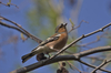 chaffinch - photo/picture definition - chaffinch word and phrase image