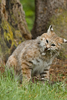bobcat - photo/picture definition - bobcat word and phrase image