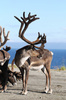 reindeer - photo/picture definition - reindeer word and phrase image
